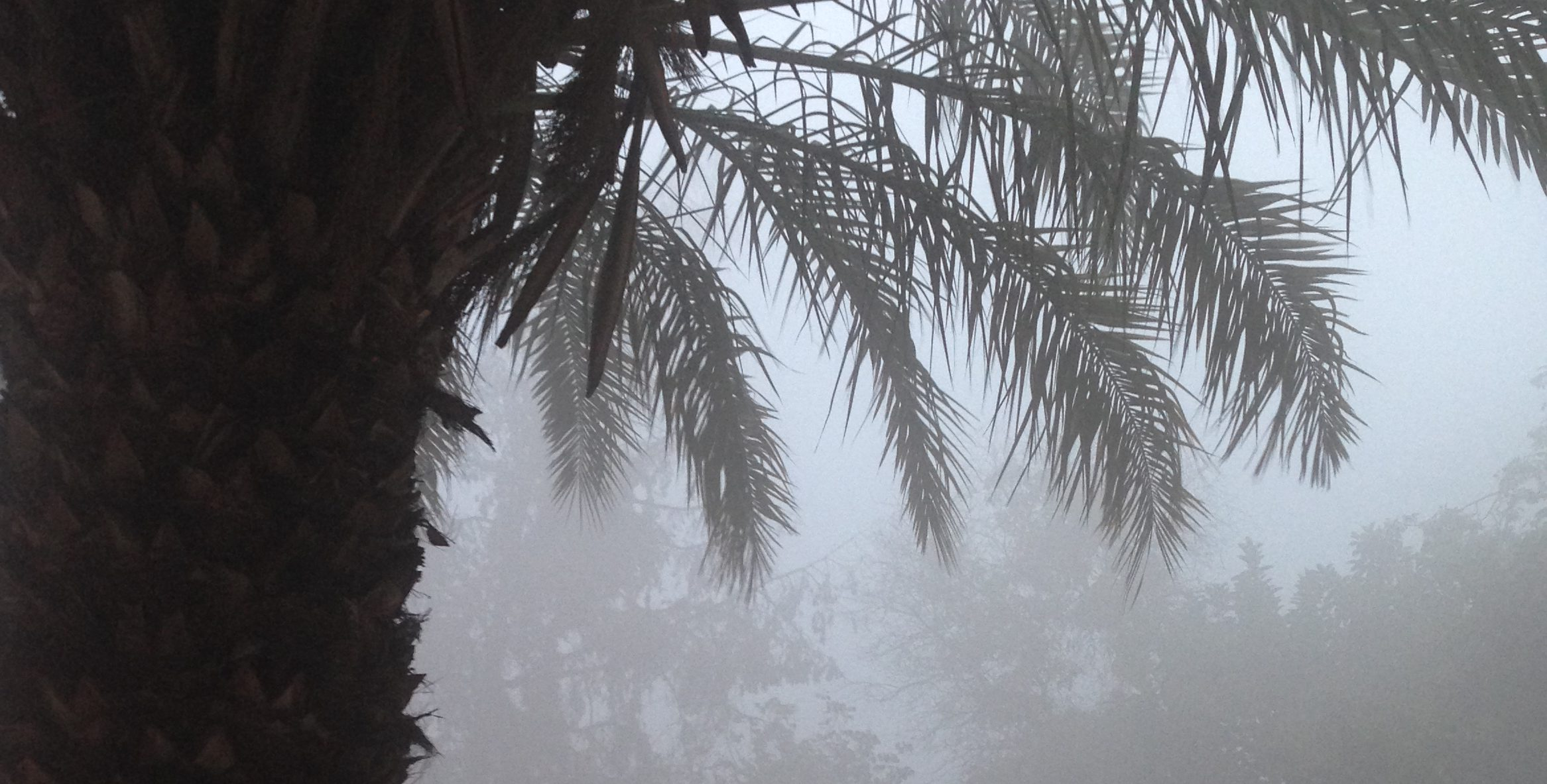 palm tree in smog