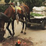 a photo or a horse and cart. The horse is eating a watermelon.