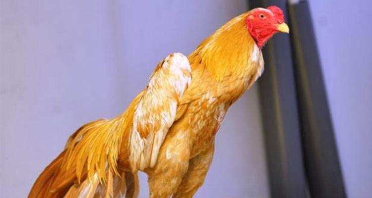 Kelebihan Ayam Bangkok Bewarna Emas Asli