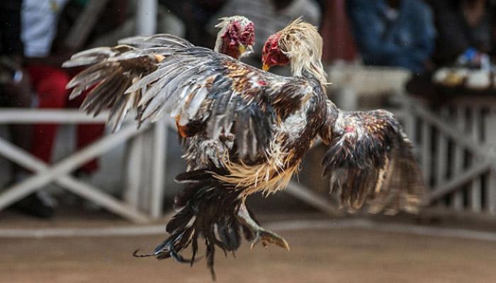 Panduan Main Taruhan Adu Ayam Uang Asli