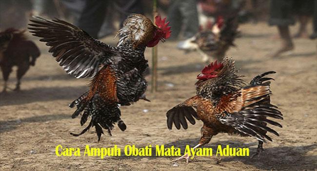 Cara Ampuh Obati Mata Ayam Aduan