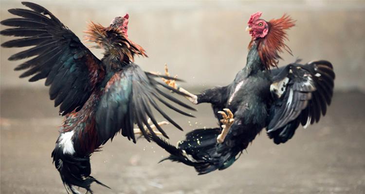 Cara Memperkuat Tenaga Ayam Aduan