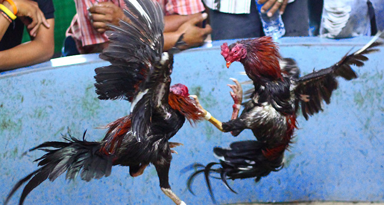 Rahasia-Melatih-Pukulan-Maut-Ayam-Bangkok