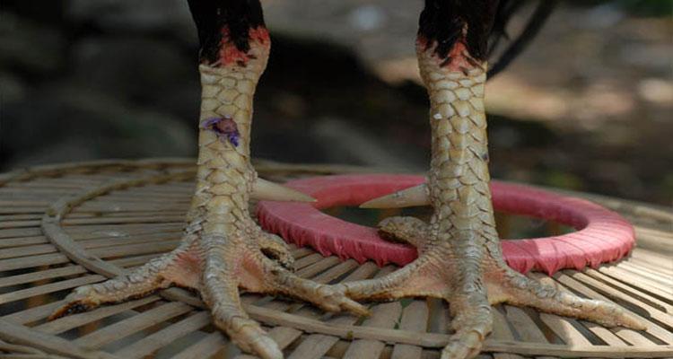 Jenis Ayam Petarung Di Arena S128 Terpercaya