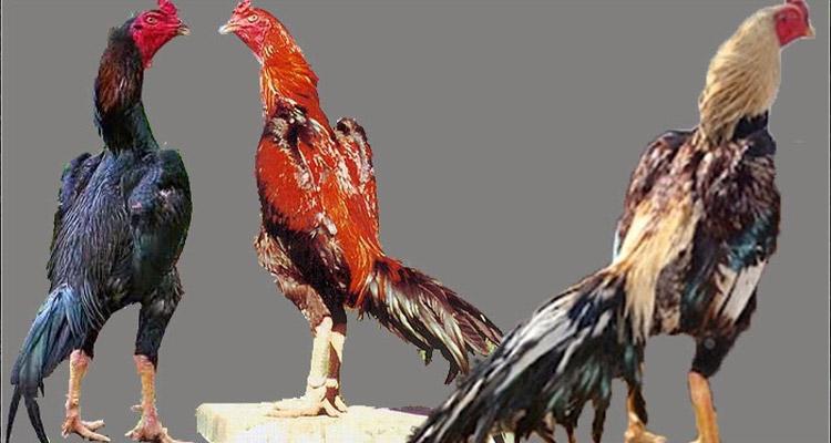 Taruhan Judi Sabung Ayam S128 Online