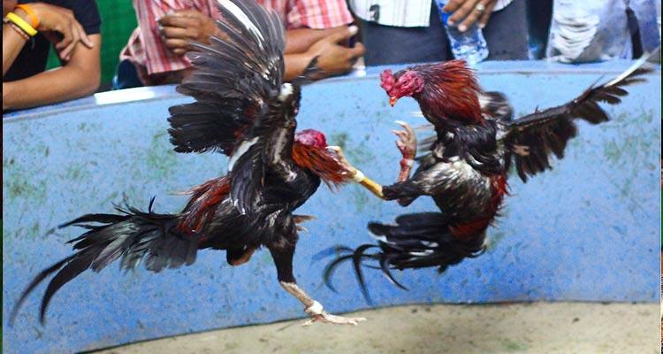 Cara Betting di Situs Judi S128 Sabung Ayam Terpercaya