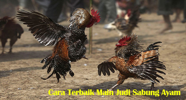 Cara Terbaik Main Judi Sabung Ayam