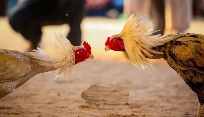 Laga Ayam Pisau SV388 Paling Seru