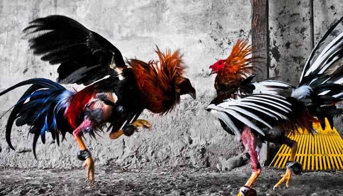 Main Judi Kungfu Chicken