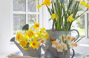 daffodil arrangement in watering cans
