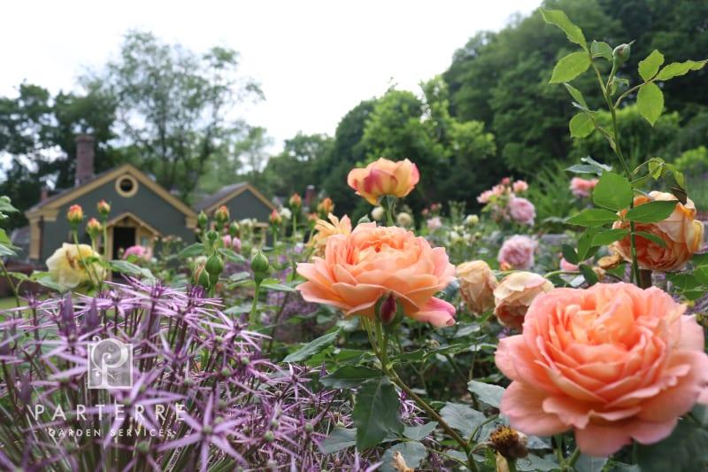 beautiful garden all year long peach roses