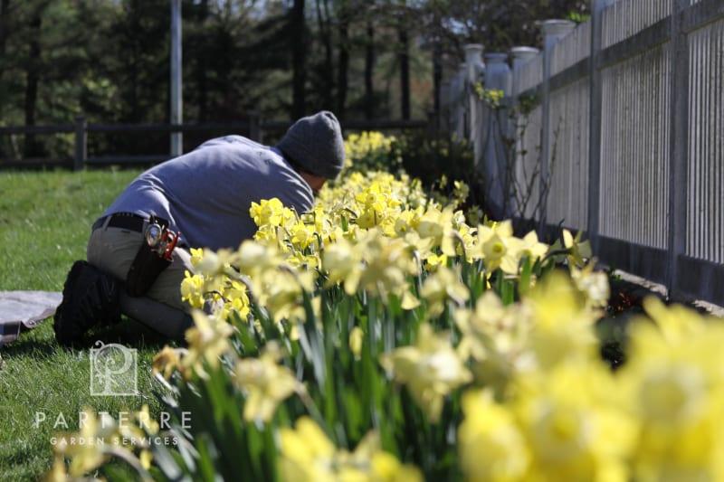 beautiful garden all year long gardener daffodils