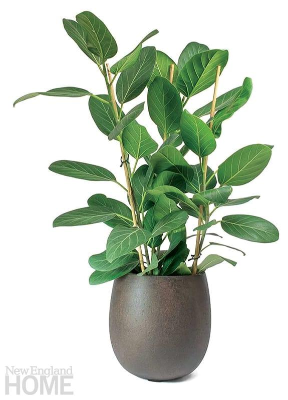indoor trees bengal fig