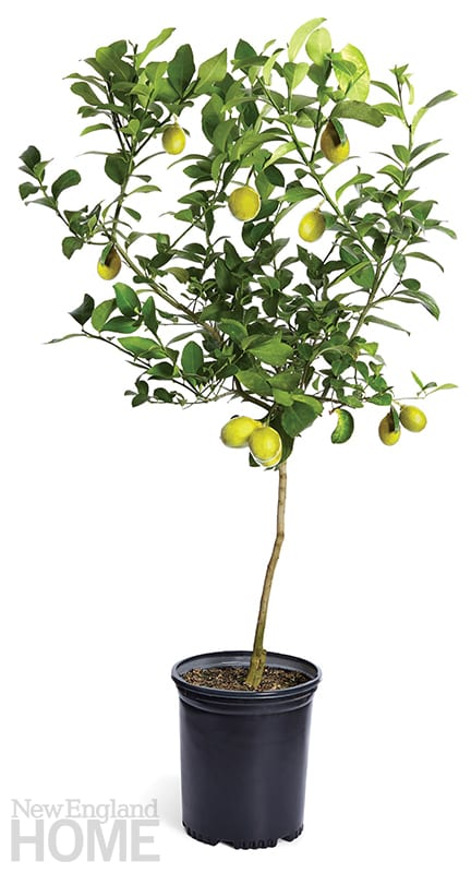 indoor trees lemon tree