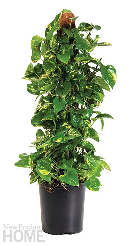 indoor trees pothos totem