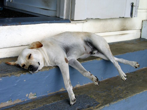 lazy dog sleeping on steps