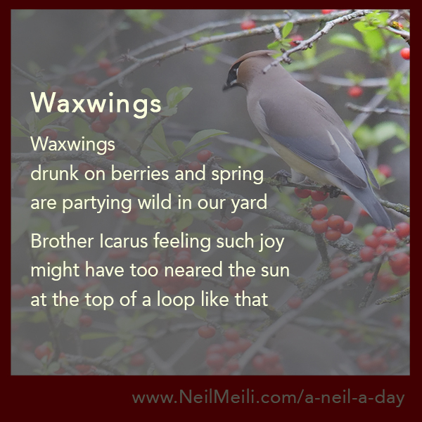 Waxwings  drunk on berries and spring are partying wild in our yard  Brother Icarus feeling such joy might have too neared the sun at the top of a loop like that