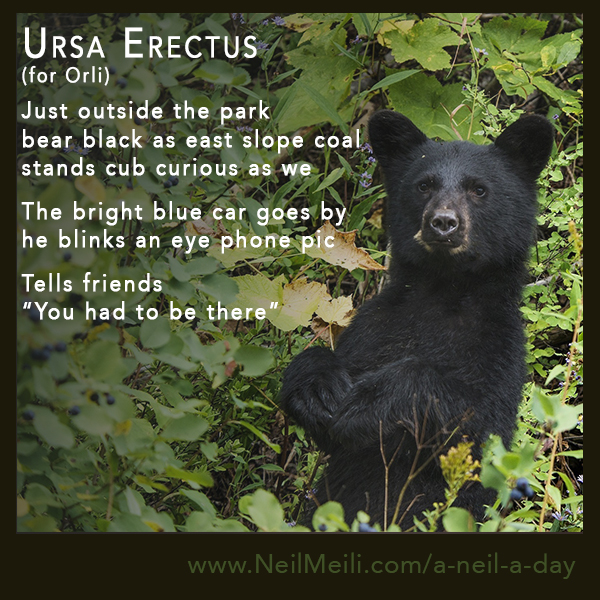 """Just outside the park bear black as east slope coal stands cub curious as we  The bright blue car goes by he blinks an eye phone pic  Tells friends  """"You had to be there"""""""