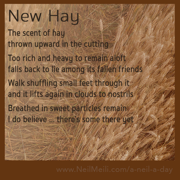 The scent of hay thrown upward in the cutting  Too rich and heavy to remain aloft falls back to lie among its fallen friends  Walk shuffling small feet through it and it lifts again in clouds to nostrils  Breathed in sweet particles remain I do believe … there's some there yet