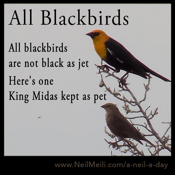 All blackbirds are not black as jet Here's one King Midas kept as a pet