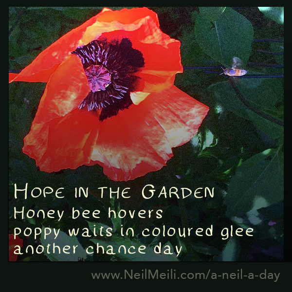 Honey bee hovers poppy waits in coloured glee another chance day