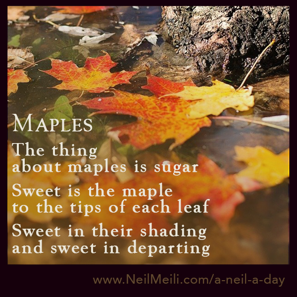 The thing about maples is sugar Sweet is the maple to the tips of each leaf Sweet in their shading and sweet in departing