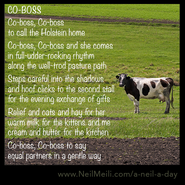 Co-boss, Co-boss  to call the Holstein home  Co-boss, Co-boss and she comes in full-udder-rocking rhythm along the well-trod pasture path  Steps careful into the shadows      and hoof clicks to the second stall for the evening exchange of gifts  Relief and oats and hay for her warm milk for the kittens and me cream and butter for the kitchen  Co-boss, Co-boss to say equal partners in a gentle way