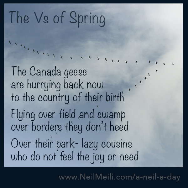 The Canada geese are hurrying back now to the country of their birth  Flying over field and swamp over borders they don't heed  Over their park- lazy cousins who do not feel the joy or need