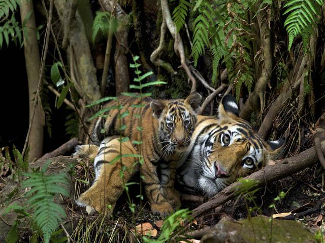 2nd highest tiger conservation state