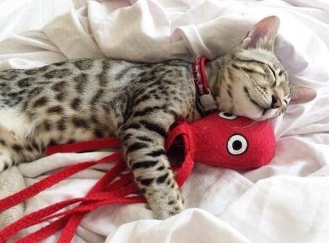 【猫画像】タコ好き