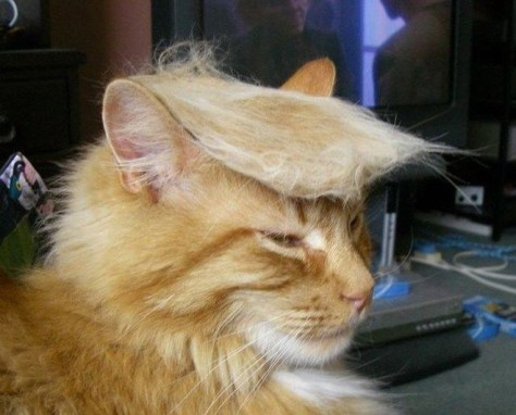 toupee_on_cat01