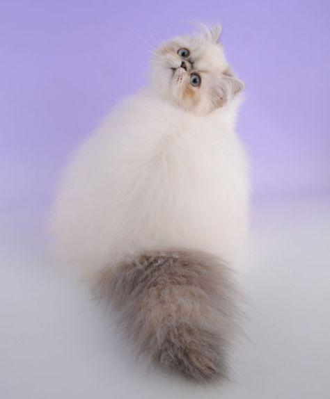 fluffy_cats10