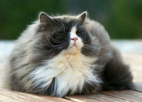 fluffy_cats14