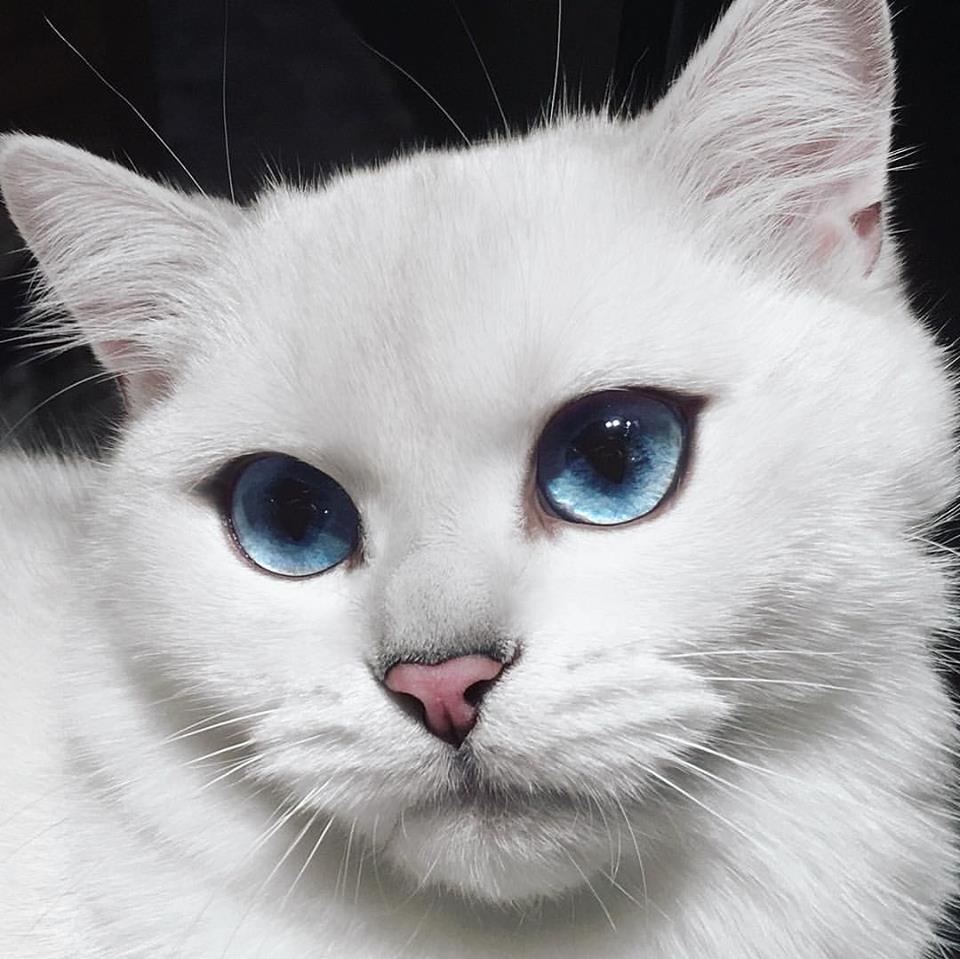 【猫ネタ】ネットで話題の猫!?動画で見る瞳が美しすぎる猫COBY(コービー)とは・・・!?