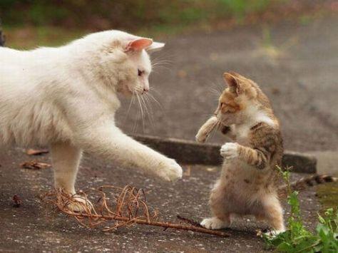 【猫画像】ファイティング子猫