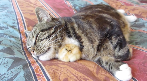 chick_sleeps_under_cat5