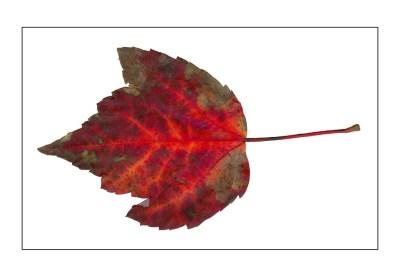 Fallen Leaves I-1