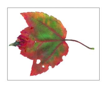 Fallen Leaves I-3