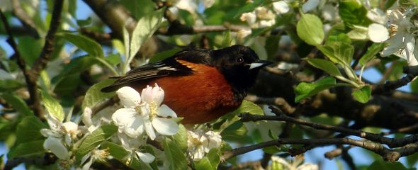 Orchard Oriole Feature Image