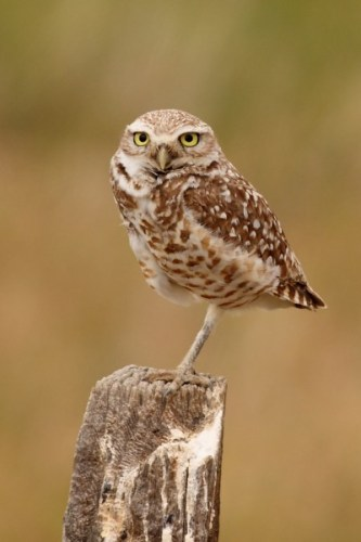 Burrowing Owl - male (Photo by Anna Fasoli)