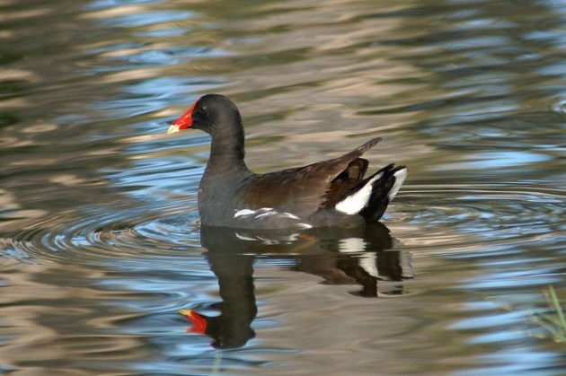 What is now, officially, the Common Gallinule. (Photo used with permission from Flickr: http://www.flickr.com/photos/shellgame/2729073254/sizes/l/in/photostream/