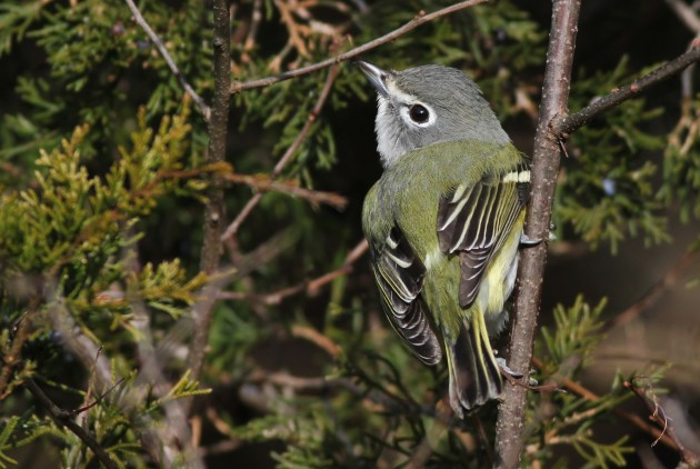 Blue-headed Vireo (Photo by Alex Lamoreaux)
