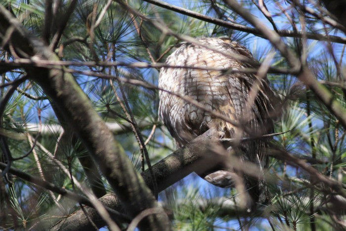 One of two Long-eared Owls that we saw fluffed up and sleeping in Bucks County. (Photo by Alex Lamoreaux)