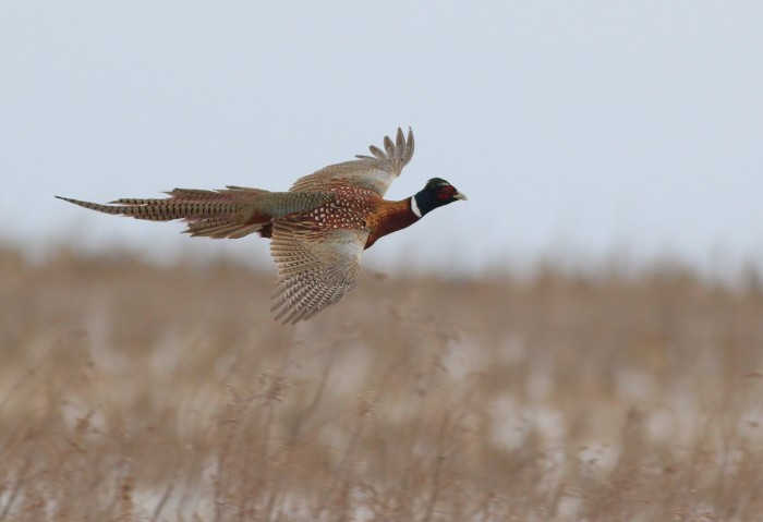 One of 11 Ring-necked Pheasants we saw during the day. (Photo by Alex Lamoreaux)