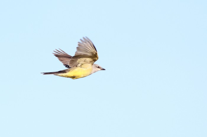 One of three Western Kingbirds at Fort Hill. (Photo by Alex Lamoreaux)