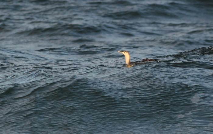 Red-throated Loon floating past Nauset Beach. (Photo by Alex Lamoreaux)