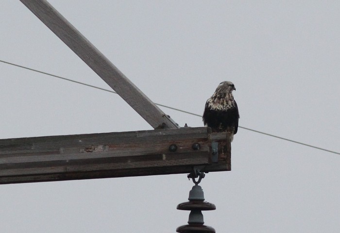 Rough-legged Hawk at Rockview. (Photo by Alex Lamoreaux)
