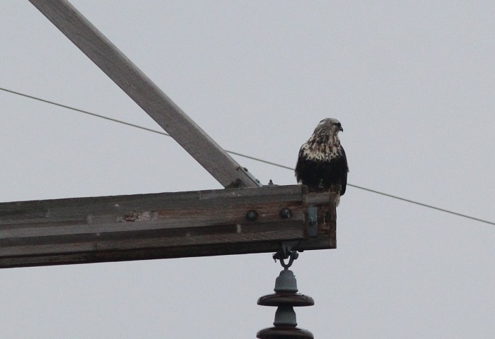 Rough-legged Hawk at Rockview. (Photo by Alex Lamoreaux)