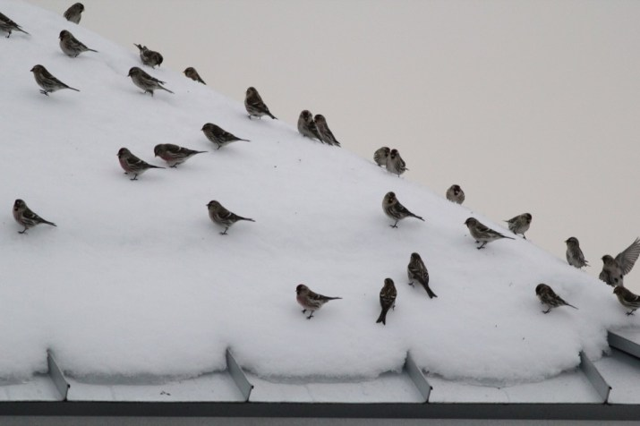 28 of 90+ Common Redpolls perched on the roof of the Nature Inn. (Photo by Alex Lamoreaux)
