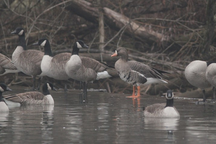 The continuing adult Greater White-fronted Goose. (Photo by Alex Lamoreaux)